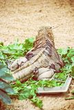 Cubaanse rotsleguaan - huwbare Cyclura, hagedisscène, achtermening Royalty-vrije Stock Afbeelding