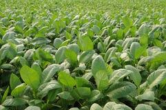 Cubaanse tabaccoaanplanting in Vinales/Pinar del Rio stock foto's