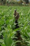 Cubaanse tabaccolandbouwer die in het midden van zijn aanplanting binnen werken stock afbeeldingen