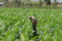 Cubaanse tabaccolandbouwer die in het midden van zijn aanplanting binnen werken royalty-vrije stock foto