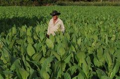 Cubaanse tabaccolandbouwer die in het midden van zijn aanplanting zich binnen bevinden royalty-vrije stock fotografie
