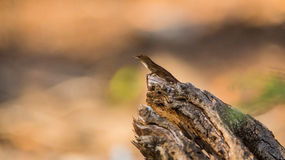 Cubain Brown Anole sur un rondin Images stock