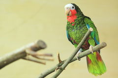 Cuban amazon Royalty Free Stock Photography