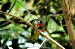 Cuban amazon Amazona leucocephala perched on a branch gnawing on a twig. stock photography
