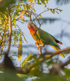 Cuban Amazon in evening light Royalty Free Stock Image