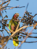Cuban Amazon Parrot Royalty Free Stock Image