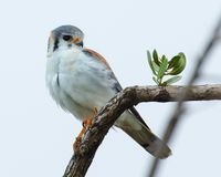 Cuban American Kestrel Stock Photo