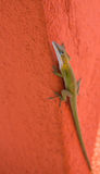 Cuban Anolis on red wall Royalty Free Stock Images