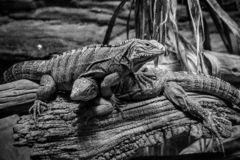 Bunch of iguanas in black and white royalty free stock images