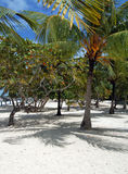 Cuban beach. Image of trees on the Cuban beach Royalty Free Stock Images