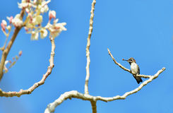 Cuban Bee Hummingbird (Mellisuga helenae) Stock Images