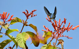 Cuban Bee Hummingbird (Mellisuga helenae) Stock Image