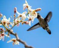 Cuban Bee Hummingbird (Mellisuga helenae) single adult male Royalty Free Stock Photo