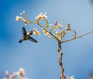 Cuban Bee Hummingbird (Mellisuga helenae) single adult male Stock Photo