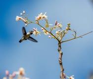 Cuban Bee Hummingbird (Mellisuga helenae) single adult male Royalty Free Stock Images