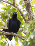 Cuban Blackbird on branch Stock Photography