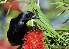 Cuban Blackbird (Dives atroviolaceus) Stock Image