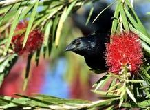 Cuban Blackbird (Dives atroviolaceus) Stock Photos