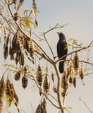 Cuban Blackbird with seeds Royalty Free Stock Images