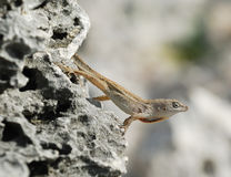 Cuban brown anole. Small Cuban brown anole lizard observing its territory the grey rock. Cayo Largo, Cuba stock photo