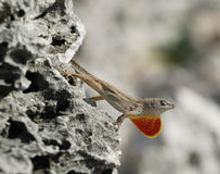 Cuban brown anole. Lizard with the red neck defending its territory on the grey rock. Cayo Largo, Cuba stock photos