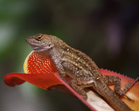 Cuban Brown Anole Flashing Dewlap. Cuban Brown Anole flashing his dewlap to warn the camera it& x27;s too close. Spring time backyard garden, Deland, Florida Royalty Free Stock Images