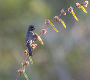 Cuban Bullfinch eating flowers Stock Photo
