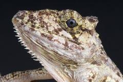 Cuban Chameleon Anole / Anolis porcus Stock Image