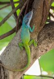 Cuban Chameleon or Cuban Knight Anole Royalty Free Stock Images