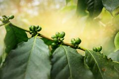Cuban coffee plantation. Coffee plantation in Cuba, Trinidad Stock Photography