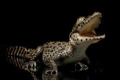 Cuban crocodile Royalty Free Stock Photos