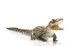 Cuban crocodile Royalty Free Stock Photo