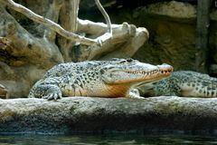 Cuban crocodile Royalty Free Stock Image