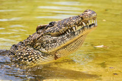 Cuban crocodile. Profile of a cuban crocodile Stock Photo