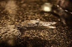 Cuban crocodile Stock Images