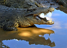 Cuban Crocodile (crocodylus rhombifer) Royalty Free Stock Image