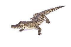 Cuban crocodile, Crocodylus rhombifer. The Cuban crocodile, Crocodylus rhombifer, is a critically endangered crocodilian endemic to Cuba Royalty Free Stock Photos