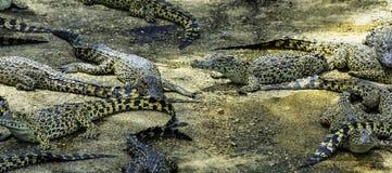 Cuban crocodile / Crocodylus Rhombifer / stock images
