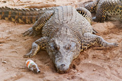 Cuban crocodile (Crocodylus rhombifer) lies on sand with bottle Royalty Free Stock Photography