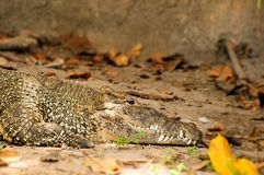 Cuban crocodile Royalty Free Stock Photography