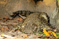 Cuban crocodile, Crocodylus rhombifer Royalty Free Stock Images