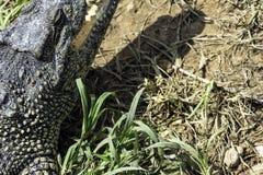The Cuban crocodile Crocodylus Rhombifer is a small species of crocodile endemic to Cuba - Peninsula de Zapata National Park, Cu. The Cuban crocodile Crocodylus stock images