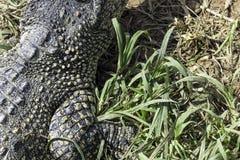 The Cuban crocodile Crocodylus Rhombifer is a small species of crocodile endemic to Cuba - Peninsula de Zapata National Park, Cu. The Cuban crocodile Crocodylus stock photography
