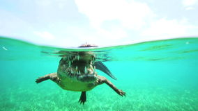 Cuban crocodile floats just above the water stock video