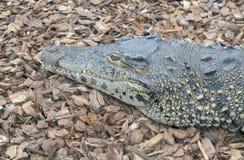 Cuban crocodile head Royalty Free Stock Image