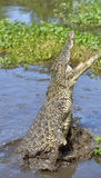 The Cuban crocodile jumps out of the water. Stock Photography