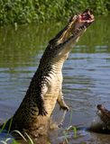 The Cuban crocodile jumps out of the water. Royalty Free Stock Images
