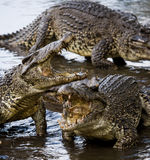 The Cuban crocodile jumps out of the water. Royalty Free Stock Photos