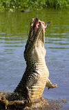 The Cuban crocodile jumps out of the water. Royalty Free Stock Image