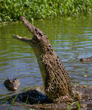 The Cuban crocodile jumps out of the water. Stock Image